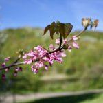Easton Mountain Flowering Tree
